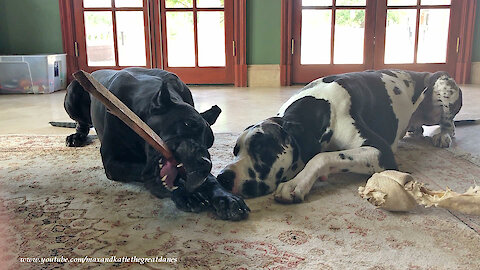 Funny Great Danes Enjoy The Joy Of Chewing A Stick Together