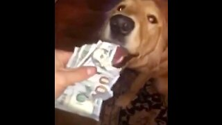 Mischievous Golden Retriever eats $100 bills