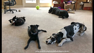 Happy Great Danes And Friends Love To Play With Toys