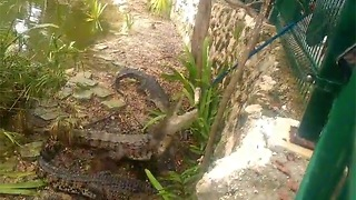 Fearsome Crocodiles have a feast at Vidanta Resort Riviera Maya - Video