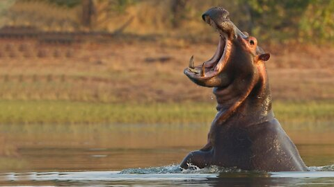 What If You Were Swallowed by a Hippo?