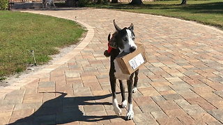 Great Dane happily delivers Amazon box right to her bed - Video