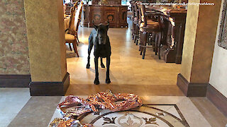 Great Danes Have Great Fun Popping Balloons