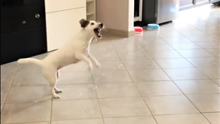 Jack Russell Terrier is a bubble bursting machine
