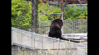 'Burglar' bear steals fish from fish hatchery - Video