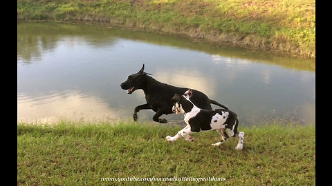 Adopted Great Dane teaches puppy to do zoomies