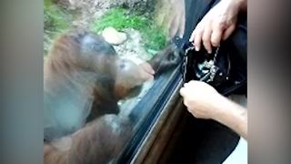 A Curious Orangutan Wants To Know What's In A Bag