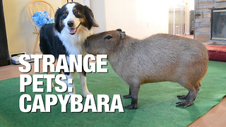 What It's Like Living With a Capybara