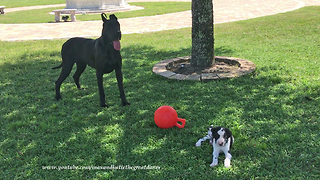 Great Dane and 7 week old  Puppy Play with Jolly Ball  - Video