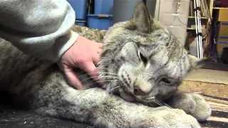 Cuddly Lynx Proves That Even Big Cats Are Still Cats - Video