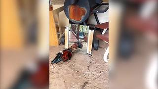 """""""Angry Rooster Fights His Own Reflection In Mirror"""""""