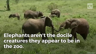 Elephant Charges Man, He Picks up a Tiny Stick and Shows It Who's Boss - Video