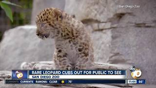 Rare leopard cubs at San Diego Zoo - Video