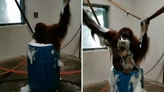 Going Ape! Orangutan Enjoys Playing In Bubble Bath Thanks To Zookeepers