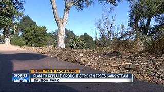 Plan to replace dead Balboa Park trees speeds up - Video