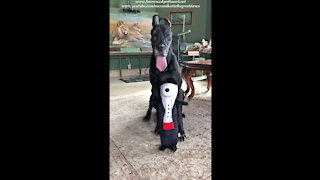 Happy Great Dane Sits Pretty With Her Mr Snoopy Dog Toy