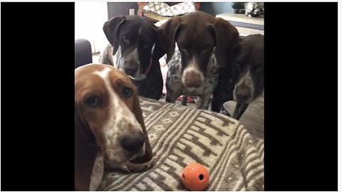 German Shorthaired Pointers Obsessed With Basset Hound's Toy Ball