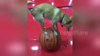 Adorable dog performs cute balancing act on basketballs - Video