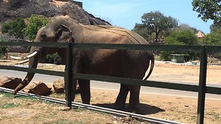 The Jungle Tasker  Elephant   at temple  - Video