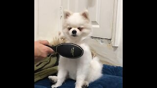 Pomeranian nearly falls asleep during grooming session