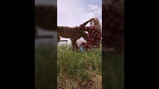 Cheetah cuddles up to woman with kisses and a lot of purring