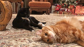 Funny Great Danes Watch Crazy Cat Nip Fest  - Video