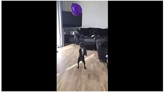 French Bulldog ferociously plays with balloon - Video