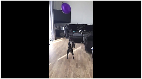 French Bulldog ferociously plays with balloon