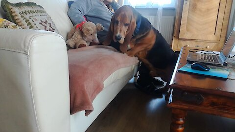 Basset Hound tries to get on the couch