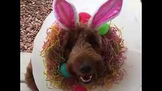 Delightful Dog Rocks the 'Cone of Shame' for Easter - Video
