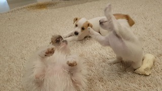 Jack Russell puppies bond with their biological father - Video