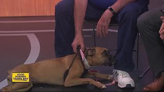 Pet of the week: Miss Gabi is a beautiful 8-month-old boxer seeking a forever family - Video