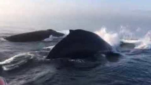 Triple Whale Breach Stuns Onlookers Off The Coast In Nova Scotia
