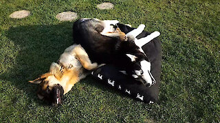 German Shepherd gets stuck under playful Husky