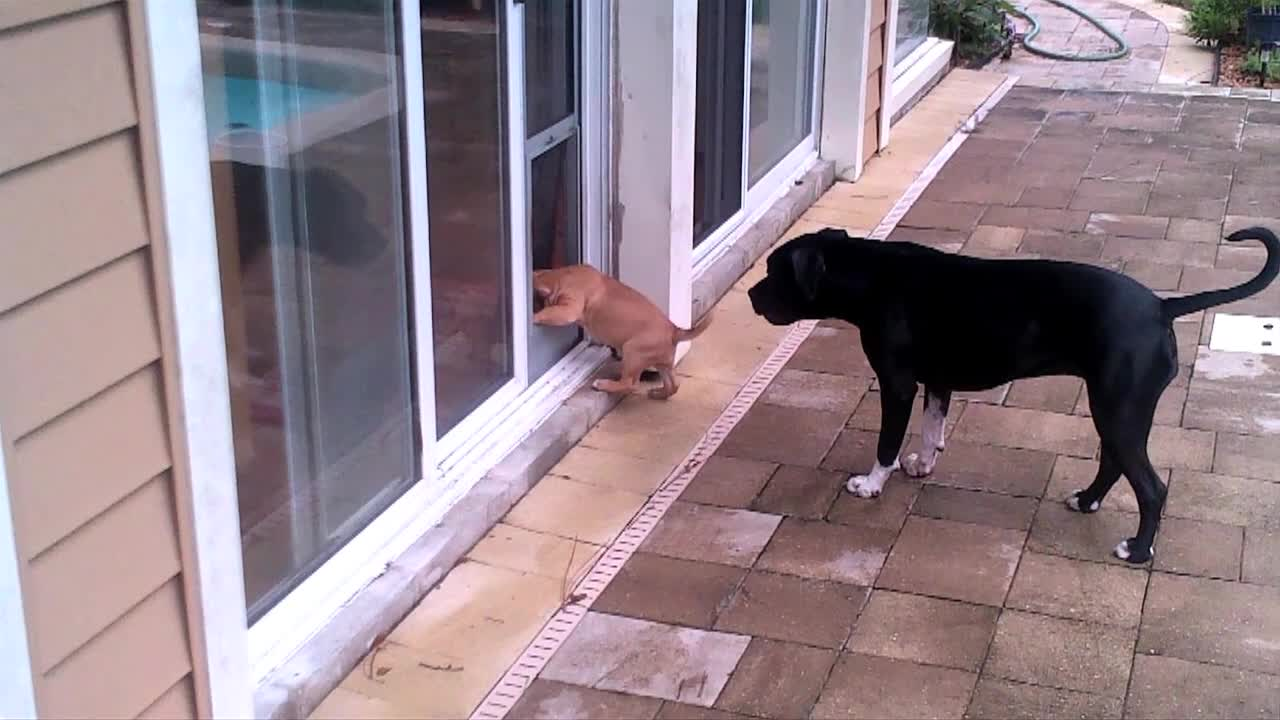 Dog Teaches Puppy How To Use Doggy Door