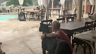 Great Danes Watch Florida Thunderstorm From Under a Clear Tent