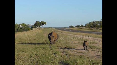 Tourists encounter baby rhino playing with mother