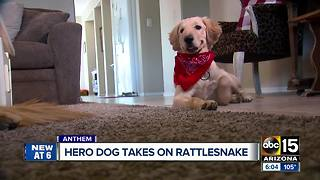 Dog being called a hero after being bitten by a rattlesnake protecting owner