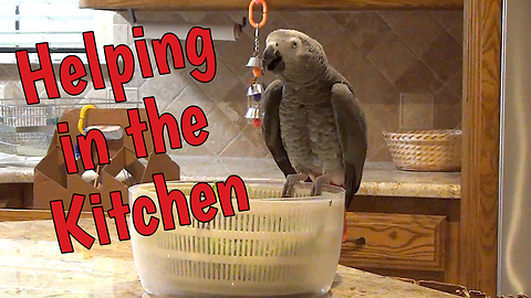 Chatty parrot like to help in the kitchen