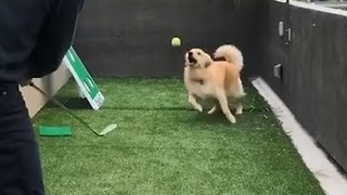 Clever Golden Retriever Catches Tennis Ball - Video