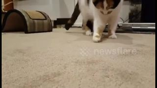 Cats is confused by bug - Video