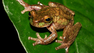 Rare Frog Is Saved From Extinction - Video