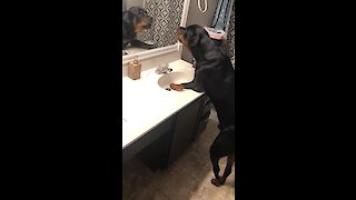 Big doggy barks at reflection in bathroom mirror