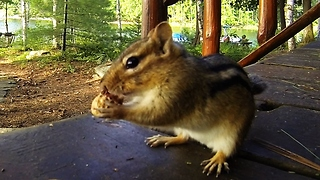 Shockingly large parasite removed from chipmunk by veterinarian