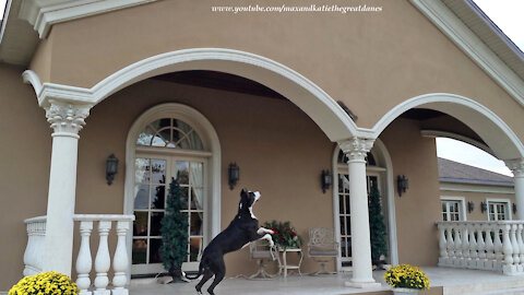 Brave squirrel humorously teases eager Great Dane