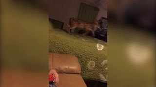 Baby Deer Loves Bouncing On The Bed