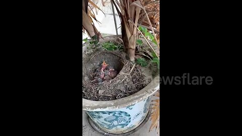 Mother bird lays and hatches eggs in resident's potted plant