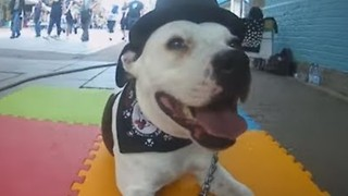 Ziggy the Staffie Looks Stylish While Performing Tricks