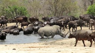 Lone rhino scares buffalo herd away from watering hole so he can have a bath