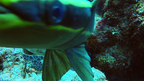 Diver Films Peculiar Fish Trying To Latch On His Gopro